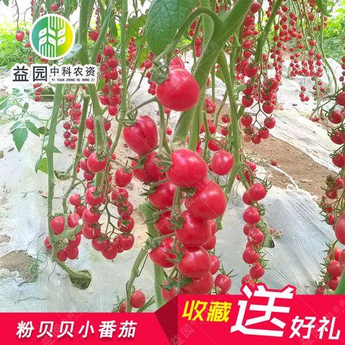 粉贝贝小番茄种子 瀑布番茄 四季樱桃小西红柿圣女果大棚高产